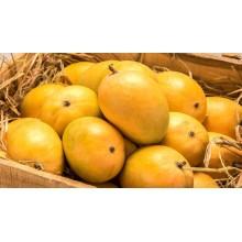 Devgad Alphonso Premium  Mango - Hapus - 1 Dozen